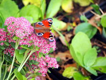 Sedum spectabile oder Hylotelephium spectabile Stockfoto