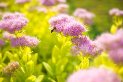 Sedum Spectabile Stock Images