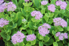 Sedum Spectible Stock Photography