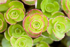Sedum Spurium Stockfotos