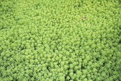 The blooming moss, saxifrage, plants, rugs, ground cover. Texture background Royalty Free Stock Image