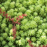 The blooming moss, saxifrage, plants, rugs, ground cover. Texture background Royalty Free Stock Photography