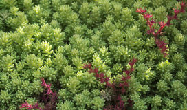 The blooming moss, saxifrage, plants, rugs, ground cover. Texture background. Sedum spurium, commonly called Caucasian stonecrop or two row stonecrop Royalty Free Stock Images