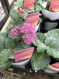 Sedum spurium flower. Royalty Free Stock Image
