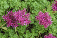 Sedum spurium Royalty Free Stock Photography