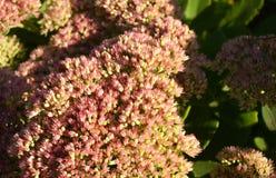 Sedum Stonecrop in blossom. Sedum prominent Sedum spectabile Stock Images