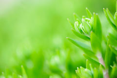 Sedum stonecrop close up Royalty Free Stock Photos