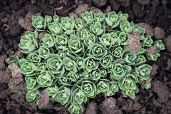 Sedum, stonecrop, crassula na terra da mola Imagem de Stock