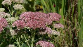 Sedum stonecrop flower bee pollen summer meadow stock footage