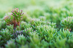 Sedum (stonecrop Spanish) Royalty Free Stock Image