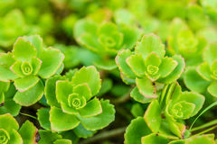 Sedum (stonecrop Spanish) Stock Photo