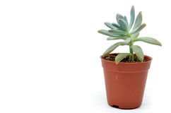 Sedum succulent plant with green fleshy leaves Royalty Free Stock Images