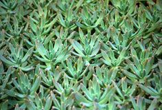 Sedum succulent plant with pale blue green stock photo