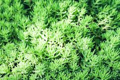Sedum, tłustoszowata roślina z zielenią opuszcza tekstury tło, rośliny w ogródzie fotografia stock