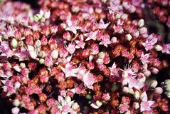 Sedum telephium Hylotelephium telephium, orpine,livelong, frog`s-stomach the cultivar Herbstfreude blooming pink soft flowers. Natural organic background royalty free stock photo
