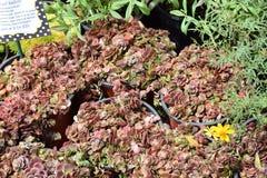 Sedum-tetractinum 'Coral Reef' Stockfotografie