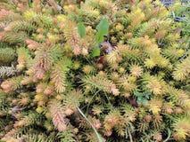 Sedum urvillei, family Crassulaceae Stock Photo