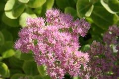 Sedum växt i blomning Arkivbild