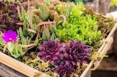Sedum växter som används för gröna takapplikationer Royaltyfri Bild