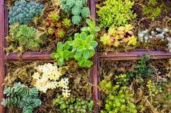 Sedum växter som används för gröna takapplikationer Arkivfoto