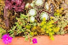 Sedum växter som används för gröna takapplikationer Arkivfoton