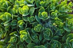 Sedum verde chiaro variopinto Immagine Stock