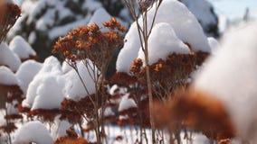 Sedums en la nieve Fotografía de archivo libre de regalías