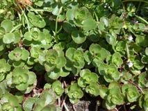 Sedumspurium Stock Afbeeldingen