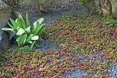 Sedumstoloniferumen i botaniska trädgården av London royaltyfri fotografi