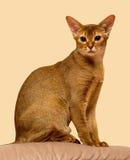 Seduta abissina rossa del gatto Immagine Stock Libera da Diritti