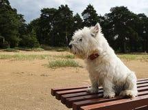 Seduta ad ovest del terrier dell'altopiano Fotografie Stock