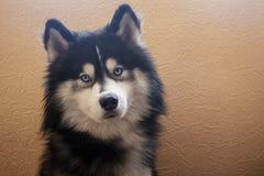 Seduta adorabile e sguardi del husky siberiano alla macchina fotografica con i suoi occhi azzurri luminosi fotografia stock