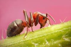 Seduta alta vicina della formica su un'ortica Fotografia Stock Libera da Diritti