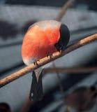 Seduta arancio del ciuffolotto al ramo al sole che mangia legno Immagini Stock Libere da Diritti