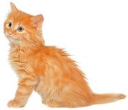 Seduta arancio del gattino isolata Fotografia Stock