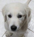 Seduta bianca del cucciolo immagini stock