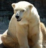 Seduta bianca dell'orso polare Fotografia Stock