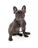 Seduta blu del bulldog francese Fotografia Stock Libera da Diritti
