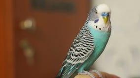 Seduta blu di undulatus del Melopsittacus di pappagallino ondulato archivi video
