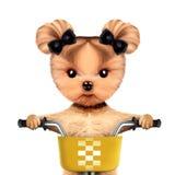 Seduta canina adorabile su una bicicletta con il canestro Fotografia Stock Libera da Diritti