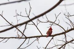 Seduta cardinale nordica sul ramo dell'albero fotografie stock libere da diritti