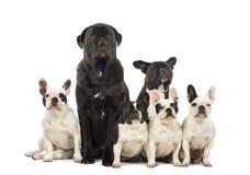 Seduta degli incroci e del bulldog francese Immagini Stock