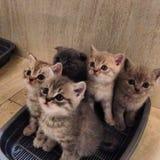 Seduta dei gattini Fotografia Stock