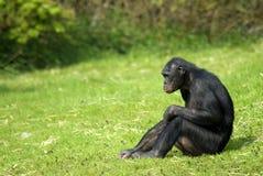 Seduta del Bonobo Fotografie Stock Libere da Diritti