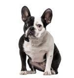 Seduta del bulldog francese Fotografia Stock Libera da Diritti