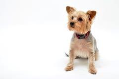 Seduta del cane Immagini Stock Libere da Diritti