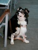 Seduta del cane Fotografie Stock