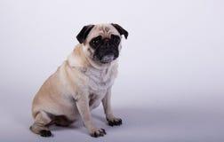 Seduta del cane del carlino Immagini Stock Libere da Diritti