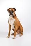 Seduta del cane del pugile Immagini Stock Libere da Diritti