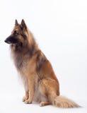 Seduta del cane di Tervuren, fondo bianco dello studio Immagine Stock Libera da Diritti